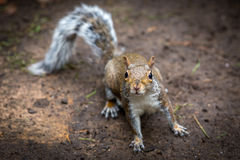 Inquisitive Grey Squirrel Royalty Free Stock Image