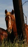 Inquisitive Horse. Young horse behind barbed wire fence Stock Photography