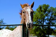 Inquisitive Horse Royalty Free Stock Image