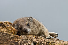 Inquisitive hyrax looking at the camera with a blue sky background Royalty Free Stock Photo