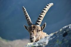 Inquisitive ibex Stock Image