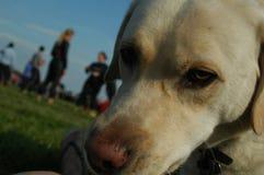 Inquisitive Labrador Stock Photos