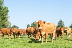 Inquisitive Limousin beef cow with a herd of   cattle Royalty Free Stock Image