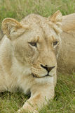 Inquisitive lioness Royalty Free Stock Images