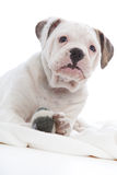 Inquisitive little white dog. Peering down at the camera from its bed with one paw firmly holding a soft toy, on a white background royalty free stock images