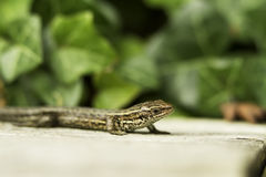 Inquisitive Lizard Royalty Free Stock Photography