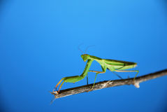 Inquisitive Look. Close-up of a Mantis Religiosa insect against a blue sky background Stock Photo