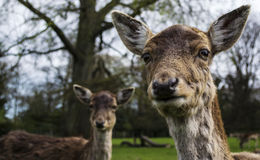 Inquisitive looking deer. Two inquisitive deer looking directly into camera Royalty Free Stock Photos