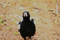 Inquisitive Magpie. Bird ornithological nature Australia dry hot day black and white Royalty Free Stock Images