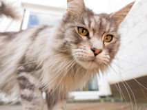 Inquisitive maine coon cat Royalty Free Stock Images