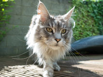 Inquisitive maine coon cat Royalty Free Stock Photo
