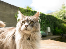 Inquisitive maine coon cat Royalty Free Stock Image