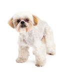 Inquisitive Maltese and Poodle Mix Dog Standing. An alert and inquisitive Maltese and Poodle Mix Dog standing at an angle while looking into the camera Royalty Free Stock Photography