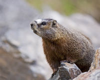 Inquisitive Marmot. The curious yellow bellied marmots run through the alpine granite rock slides that are found at timberline in the Rocky Mountains Royalty Free Stock Photography