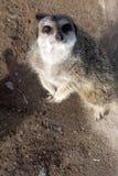 Inquisitive meerkat Stock Photography