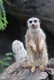 Inquisitive Meerkat Stock Images