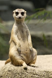 Inquisitive Meerkat Sitting Stock Image