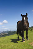 Inquisitive mountain horse. Last holidays we meet this horse in the mountains of Somiedo, in Asturias, province of Spain. We was trekking and this funny animal Royalty Free Stock Image