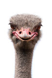 Inquisitive Ostrich stock images