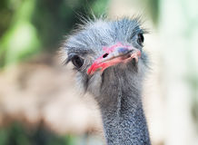 Inquisitive ostrich bird in the park Royalty Free Stock Photo