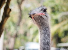 Inquisitive ostrich bird in the park Royalty Free Stock Photos