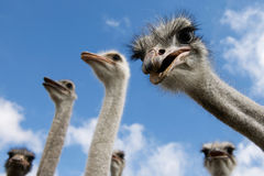 Inquisitive Ostriches looking at viewer. Several inquisitive ostriches looking down at the viewer with long necks and big eyes Stock Photos