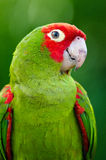 Inquisitive Parrot Royalty Free Stock Image