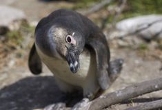 Inquisitive Penguin Royalty Free Stock Image