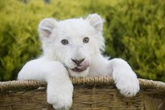 A white lion cub in a bamboo basket stock photography