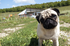 Inquisitive pug dog. Standing in an open field and looking straight at the camera Royalty Free Stock Images