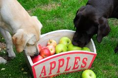 Inquisitive puppies Royalty Free Stock Image