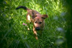 Inquisitive puppy. Ventures in the garden royalty free stock images