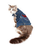 Inquisitive Ragdoll Cat Wearing A Jean Jacket Royalty Free Stock Photos
