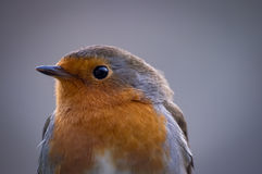 Inquisitive Robin. An inquisitive and friendly robin regards the camera with an interested look Stock Images