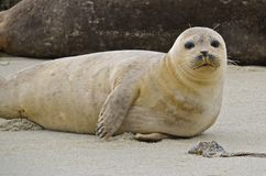 Inquisitive Sea Lion. A white inquisitive  sea lion rests on the sand of the ocean coastline Royalty Free Stock Photography