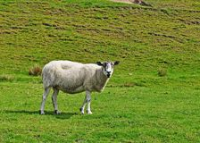 Inquisitive Sheep Stock Images