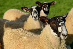 Inquisitive sheep Royalty Free Stock Image