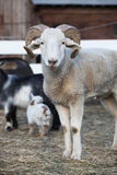 Inquisitive sheep with curly horns Stock Images