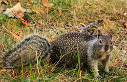 Inquisitive Spotted Squirrel Stock Photo