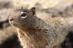 Inquisitive squirrel stock photos