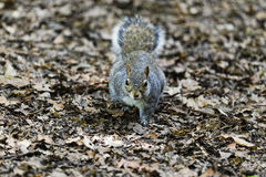 Close-up of a grey squirrel on a woodland floor looking directly at the camera Stock Image