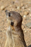 Inquisitive suricata Stock Photography