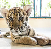Inquisitive Tiger cub Stock Image