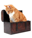Inquisitive tomcat in chest Royalty Free Stock Photo