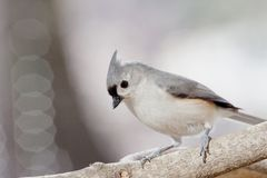 Inquisitive Tufted Titmouse Stock Image