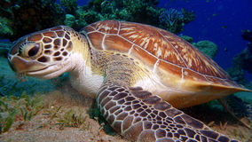An Inquisitive Turtle Royalty Free Stock Photo