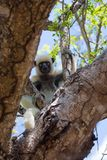 Inquisitive Verreaux`s Sifaka Lemur in trees. Inquisitive Verreaux`s Sifaka Lemur searching for food in the trees, Kirindy Forest Reserve, Madagascar Royalty Free Stock Photos
