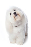 Inquisitive White Dog Stock Photography