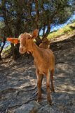 Inquisitive cute young Malaga goat Capra aegagrus hircus on a Spanish hillside. royalty free stock photos