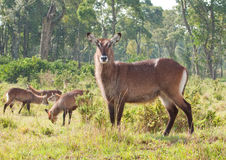 Inquisitve Waterbuck Stockbild